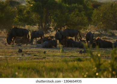 Wildebeest the extraordinary resistant antelope in its natural African environment
