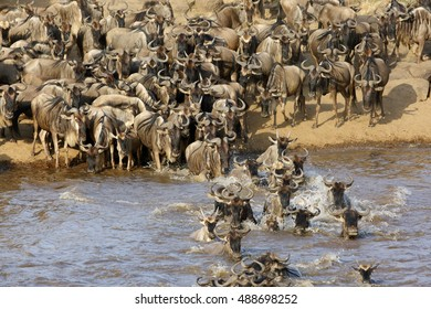 Wildebeest flowing each other while crossing Mara river