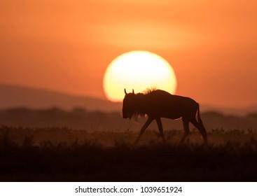 Wildebeest gnu in backlight sunrise