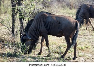 Wildebeest grazing at the Khama Rhino Sanctuary in Botswana