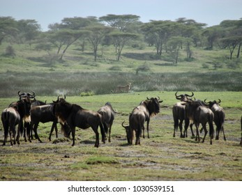 Wildebeest Great Migration