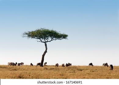 wildebeest herd in the beautiful plains of the Masai Mara reserve in Kenya Africa
