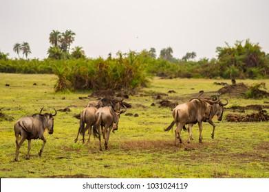 Wildebeest herds grazing in the savannah of Amboseliau Kenya