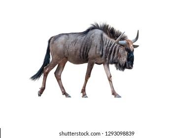 wildebeest isolated on white background