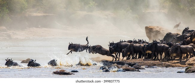 Wildebeest jumping into Mara River. Great Migration. Kenya. Tanzania. Masai Mara National Park. An excellent illustration.