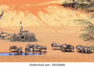 Wildebeest in  Kalahari Namibia