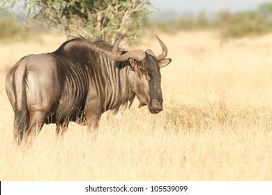 Wildebeest in the Kruger Park