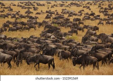 Wildebeest migration in the Sereneti, Tanzania