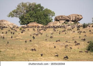 Wildebeest migration in the Serengeti National Park, Tanzania