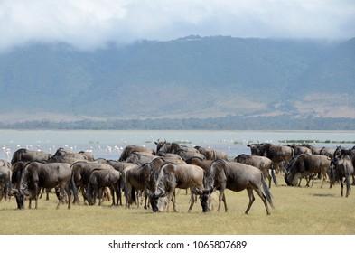 Wildebeest in Ngorongoro Crater, Tanzania