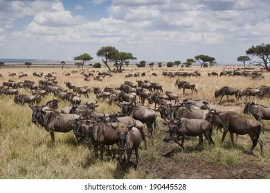 Wildebeest on grassland of Masai Mara