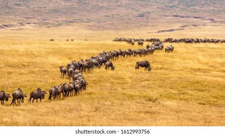 Wildebeest on savannah in Africa