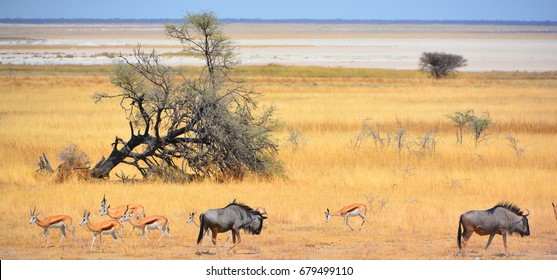 The wildebeest (plural wildebeest, wildebeests or wildebai), also called the gnu is an antelope of the genus Connochaetes. It is a hooved (ungulate) mammal. (Etosha National Park) Namibia Africa