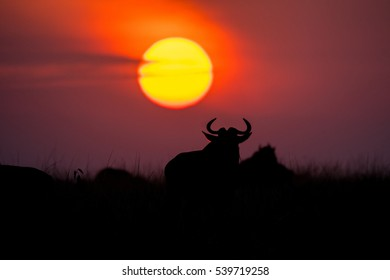 Wildebeest in the rising sun