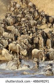 Wildebeest rushing to cross Mara river