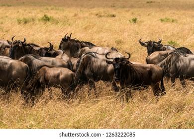 Wildebeest at savannah,  Kenya