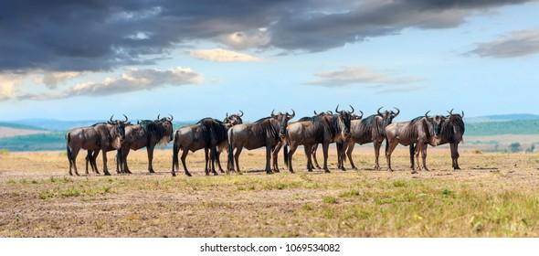 Wildebeest in savannah, National park of Kenya, Africa