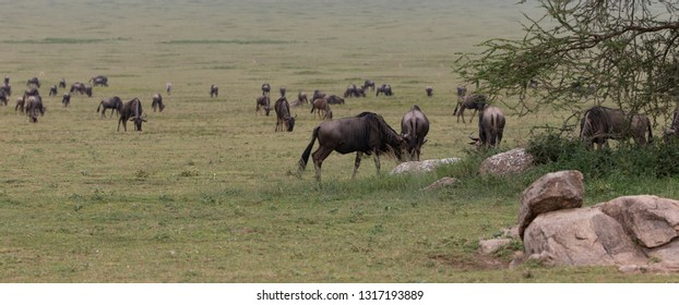 Wildebeest in Serengeti Grasslands of Tanzania