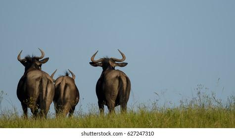 Wildebeest Trio