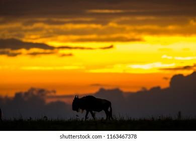 Wildebeest walking at sunset in Masai Mara Game Reserve, Kenya