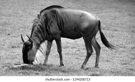 The wildebeest or wildebai, also called the gnu is an antelope of the genus Connochaetes. It is a hooved (ungulate) mammal.