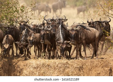 Wildebeests above the cliff in the bank of mara river, Kenya