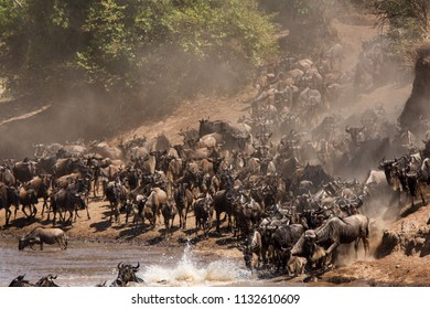 Wildebeests approaching the Mara river