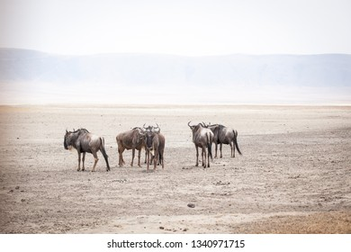 Wildebeests, also called gnu antelopes (Connochaetes) standing in dust at the bottom of ancient Ngorongoro crater, Tanzania
