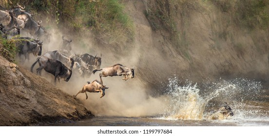 Wildebeests are crossing  Mara river. Great Migration. Kenya. Tanzania. Maasai Mara National Park. An excellent illustration.