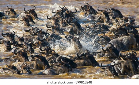 Wildebeests are crossing Mara river. Great Migration. Kenya. Tanzania. Masai Mara National Park. An excellent illustration.