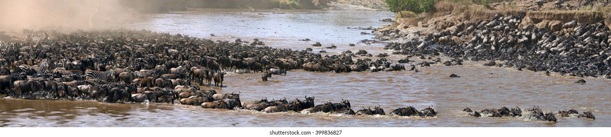 Wildebeests are crossing Mara river. Great Migration. Kenya. Tanzania. Masai Mara National Park. An excellent illustration. Stitched Panorama