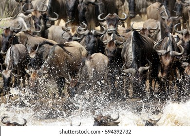 Wildebeests crossing  Mara river  with splash of water