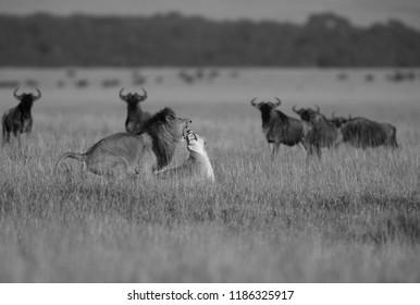 Wildebeests curiosity on Lions act, Masai Mara
