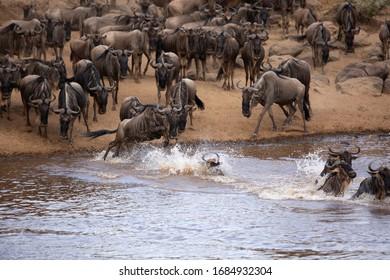 Wildebeests jumping and crossing the Mara river, Kenya