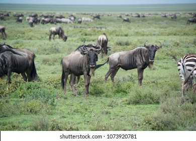 Wildebeests migrating by the thousands during the annual great migration in the Serengeti of Africa