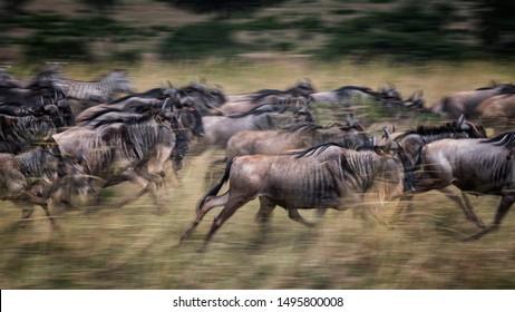 Wildebeests running in grassland Masai Mara National Reserve ,Kenya.Blurred focus effect.16:9