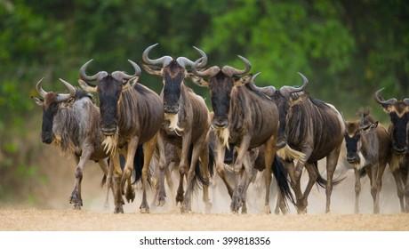 Wildebeests running through the savannah. Great Migration. Kenya. Tanzania. Masai Mara National Park. An excellent illustration.