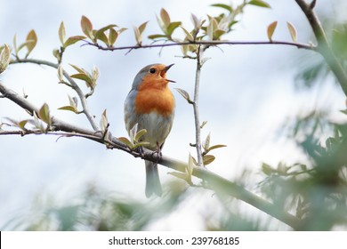 Wildeshausen (Low Saxon: Wilshusen), Lower Saxony, Germany. Robin (Erithacus rubecula).Wild bird in a natural habitat.