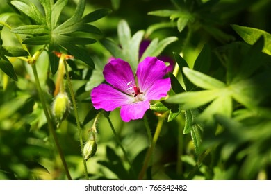A wildflower of bloody geranium (Geranium sanguineum) growing in the shadow and hit by a ray of sunlight
