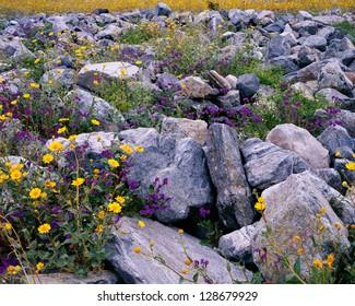 Wildflower bloom in Death Valley, California