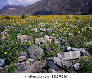 Wildflower bloom in spring (March 2005), Death Valley National Park, California