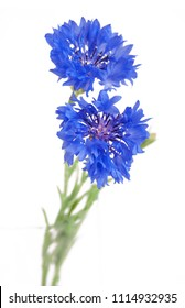 Wildflower blue carnation flower bunch isolated on white background. Blue carnation field