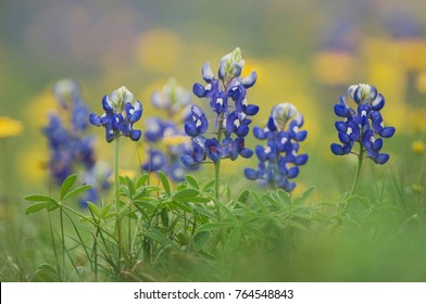 Wildflower field with Texas Bluebonnet (Lupinus texensis), Comal County, Hill Country, Texas, USA, March