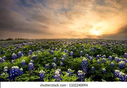 Wildflower field of Texas Bluebonnets