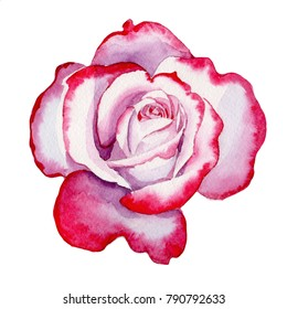 Wildflower hybrid rose flower in a watercolor style isolated. Full name of the plant: hybrid rose, hulthemia, rosa. Aquarelle wild flower for background, texture, wrapper pattern, frame or border.