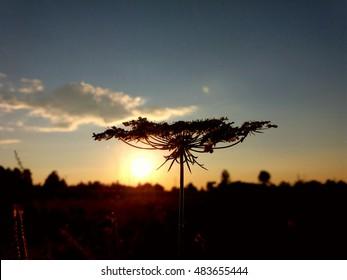 Wildflower looks like baobab