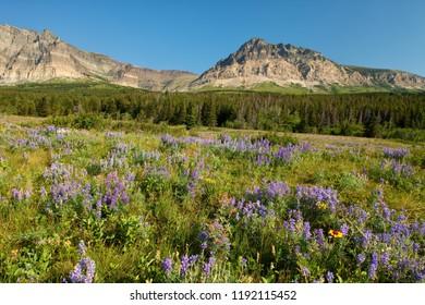 Wildflower meadow in Glacier National Park, Montana, USA