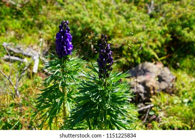 Wildflower Mountain Lupin ( Lupinus ) in the  Dolomites Alps, Italy