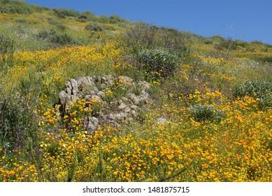 Wildflower poppy fields meadow flowers