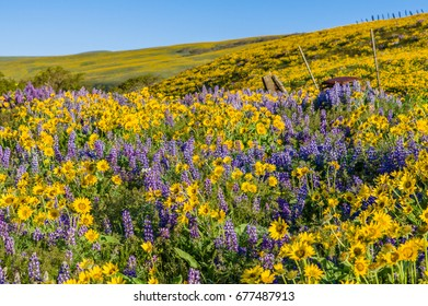 WIldflower praire with Balsamroot and Lupine in bloom